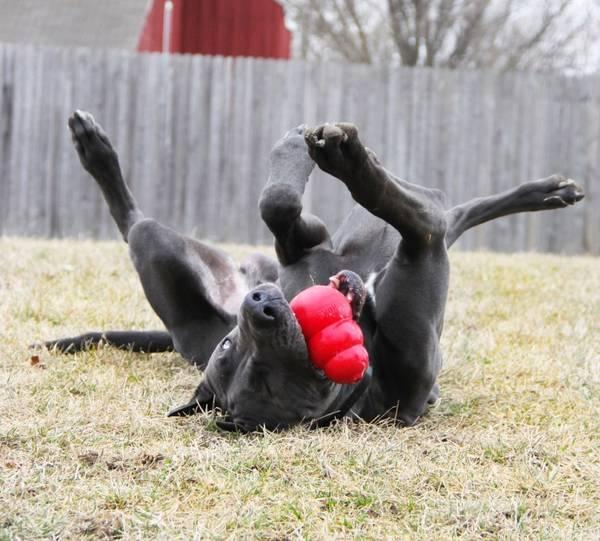 KONG CLASSIC - Extra Large - rotaļlieta suņiem